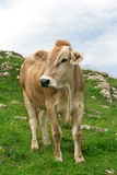 Cow in a mountains. On a green grass Royalty Free Stock Photo