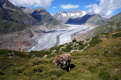 A cow in the mountains above the Aletsch glacier Stock Image