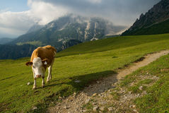 Cow and mountains Stock Photos