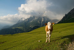 Cow and mountains Stock Images