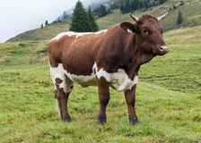 Cow in mountains Austria Stock Photography