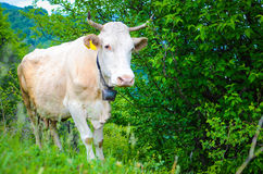 Cow in the mountains Stock Photography