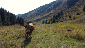 Cow in the mountains. Closeup image of the cow on the mountains background Stock Photo