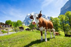 Cow in the mountains Royalty Free Stock Photos