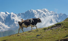 Cow in mountains Royalty Free Stock Images