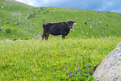 Cow mountains Royalty Free Stock Photo
