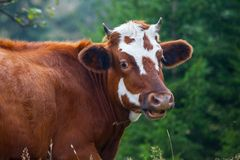 Cow in the mountains Royalty Free Stock Image