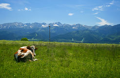 Cow and mountains meadow Stock Image