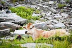 Cow on mountains pasture Royalty Free Stock Photos