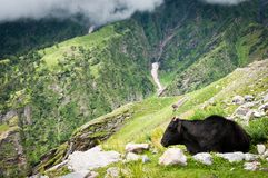 Cow on mountains pasture Royalty Free Stock Photography