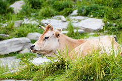 Cow on mountains pasture Royalty Free Stock Photo
