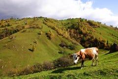 Cow in mountains pasture, Magura Village. Cow on the mountains pasture in Piatra Craiului National Park, Brasov, Magura village, Romania Royalty Free Stock Photo