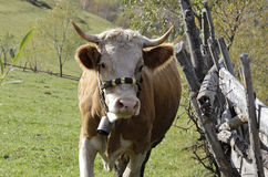 Cow in mountains pasture Stock Photos