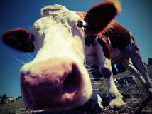 Cow in the mountains photographed with fisheye lens. Big cow in the mountains photographed with fisheye lens  with vintage style Royalty Free Stock Photos