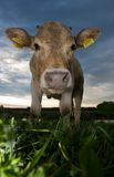 Cow mouth. Cow on green meadow with  cloudy sky at the background Stock Images