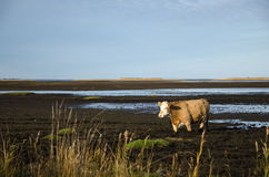 Cow in muddy water Royalty Free Stock Photography