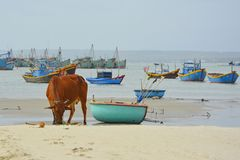 Cow on Mui Ne Beach. A cow on the beach of Mui Ne Fishing Village with some traditional fishing boats in the background Stock Photography