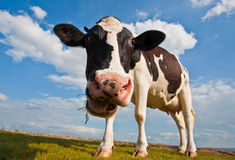 Cow munching grass. A cow is seen in a wide-angle view, munching grass royalty free stock photos