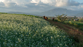 the cow and The mustard field with white flower in DonDuong - Dalat- VietNam Royalty Free Stock Photography