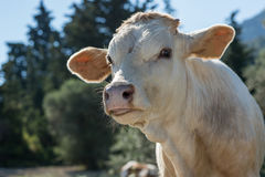 Cow muzzle on a meadow in close up picture. On sunset Royalty Free Stock Image