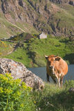 Cow in the natural park of Somiedo Royalty Free Stock Images