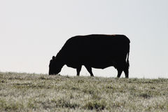 Cow natural silhouette Royalty Free Stock Image