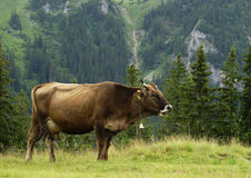 Cow in nature Stock Photos