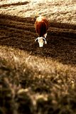 Cow in nature Royalty Free Stock Photo