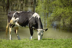 Cow in nature Stock Photography