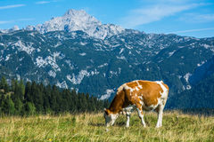 Cow in nature Royalty Free Stock Images