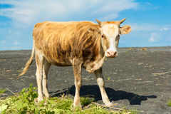 Cow on nature Stock Photos