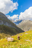 Cow near the Aletsch glacier Royalty Free Stock Photo