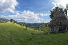 Cow near an ancient shelter. Cow eating grass on a sunny day near an animal shelter Royalty Free Stock Photos