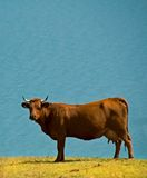 Cow near blue lake Stock Photo