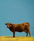Cow near blue lake. A cow near a blue lake in France, Aussois Stock Photo