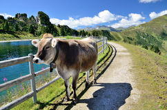 Cow near the lake in the mountains. Stock Photo
