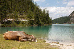 Cow near lake Pragser Wildsee in Italy Alps Stock Photos