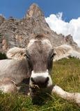 Cow near Monte Pelmo, Dolomites, Italy Royalty Free Stock Images