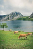 Cow near the mountain lake Stock Image