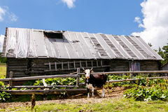Cow near old wooden house in the mountains Stock Images