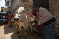 Cow near the shore of the Ganges. Cows in India are considered sacred animals. VARANASI, INDIA - MAR 26, 2018: Cow near the shore of the Ganges. Cows in India stock photo