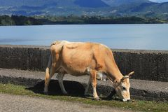 Cow near water reservoir Royalty Free Stock Images
