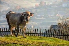 Cow near the wooden fence on hillside meadow. Carpathian rural area behind the village. Cow near the wooden fence on meadow early in the morning stock photos