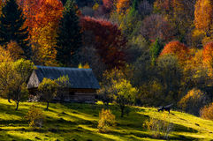Cow near woodshed in autumn forest. Cow grazing near abandoned woodshed in autumn forest. beautiful rural scenery on sunny sunset Royalty Free Stock Photo