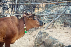 Cow with necklace in India Stock Photo