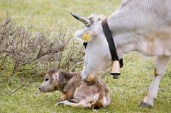 Cow New Born Stock Photos