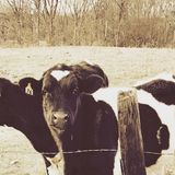 Cow 76. New York Nature Royalty Free Stock Images