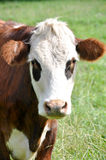 Cow in New Zealand Stock Images