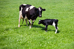 Cow with newborn calf Stock Photo