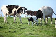 Cow with newborn calf. farm. Blue sky background Stock Photo